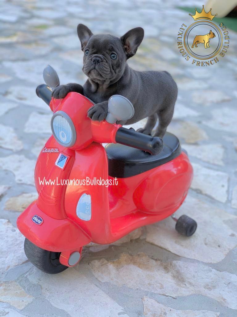 Ordina Cucciolo Bulldog Francese Blu
