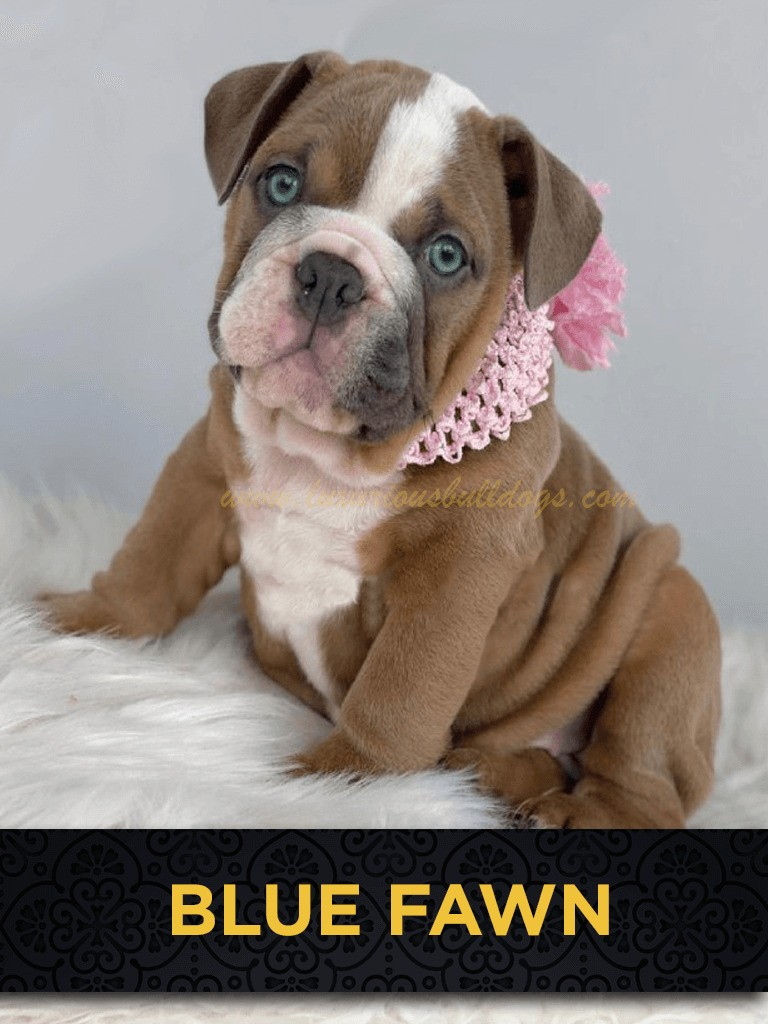 Inglese Blue Fawn