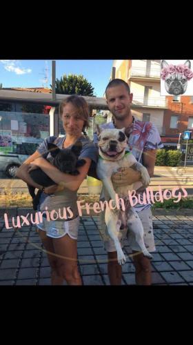 foto bulldog francese bianco e blu