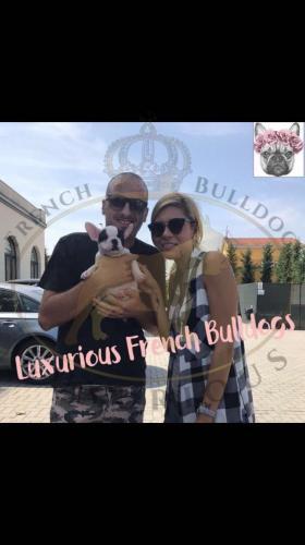 foto cane bulldog francese