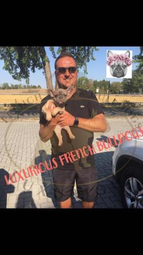 foto bulldog francese cucciolo