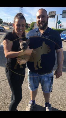 cuccioli bulldog francese con pedigree