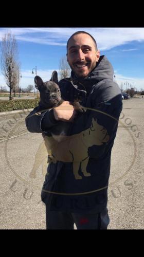 bulldog francese cane foto